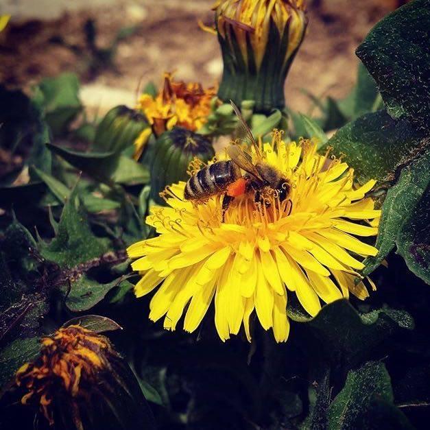 miele Val di Non - ape tarassaco - Michele Arnoldo