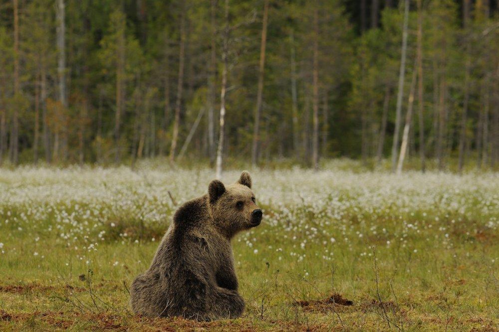 orso - parco adamello brenta - ILOVEVALDINON