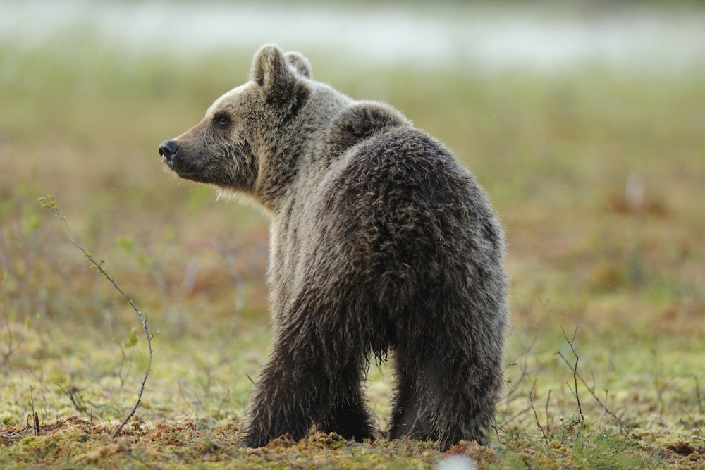 orso -parco adamello brenta- ilovevaldinon