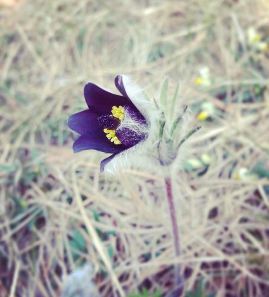fiori-anemone-elisa Battocletti (3)