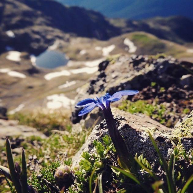 fiori di montagna-genzianella-monte Luco-elisa Battocletti