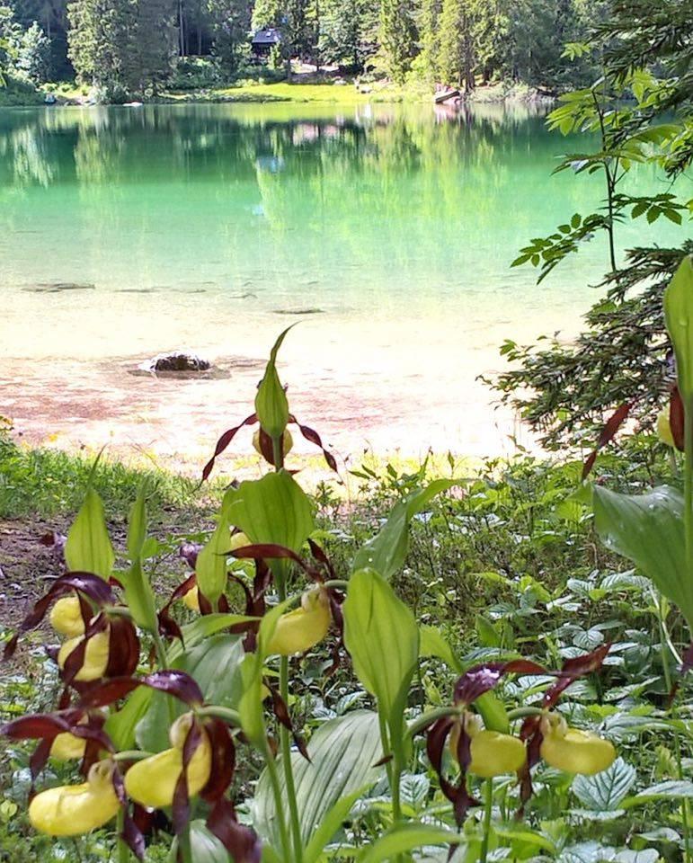 fiori di montagna-scarpetta di venere-tovel-marta Branz