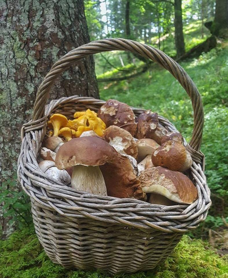 raccolta funghi porcini