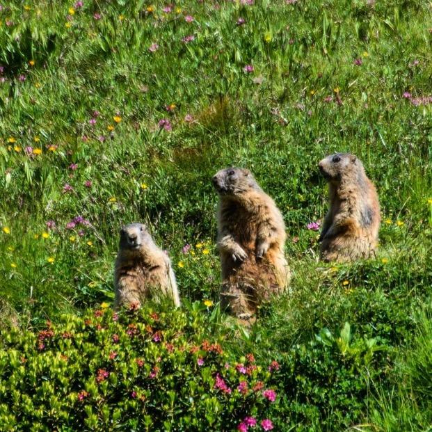 natura Val di Non-marmotte-Peter Sinacciolo