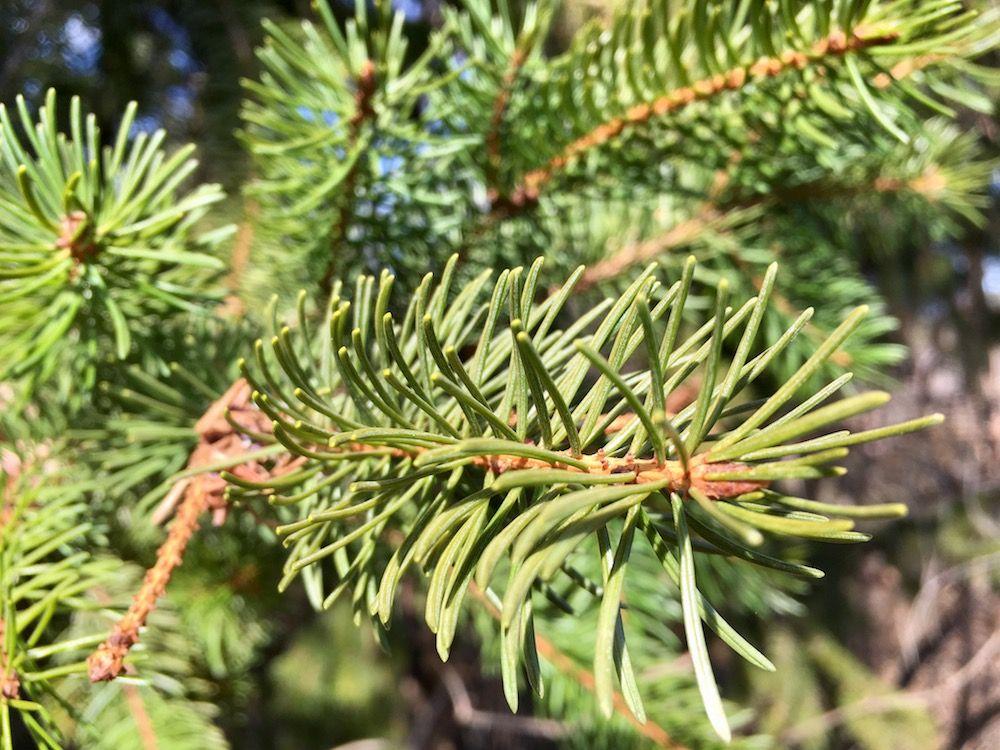 differenza pino abete - Abete rosso-ilovevaldinon
