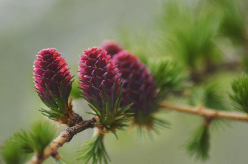 fiori di larice