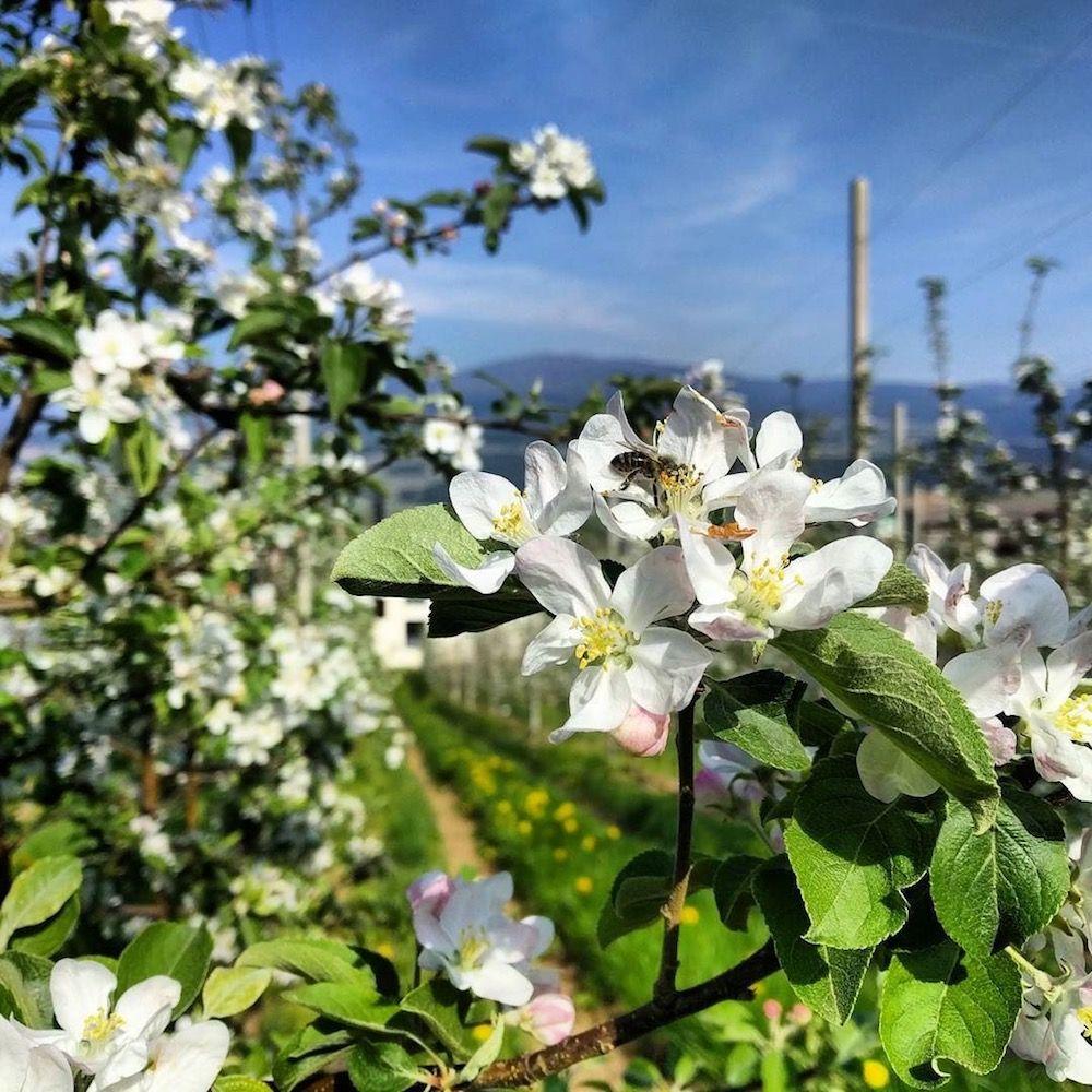 fioritura-meli in fiore-i love val di non-loris borghesi