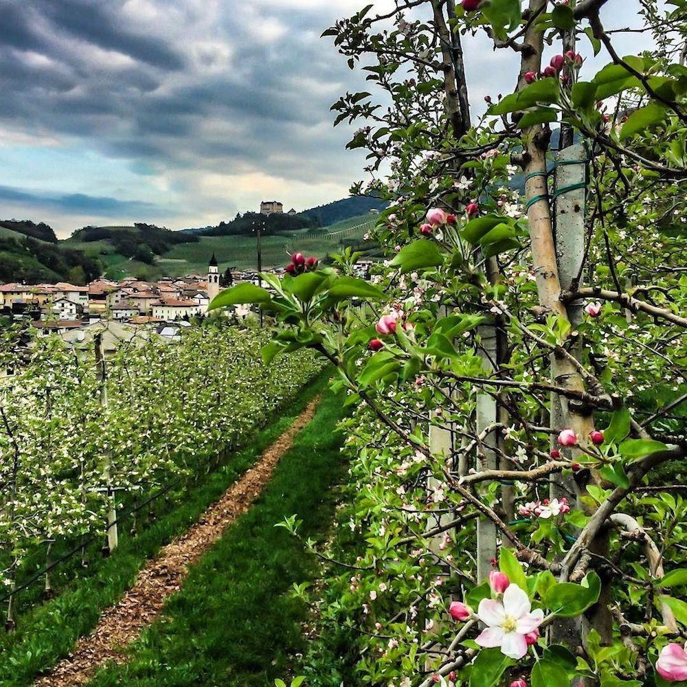 fioritura-meli in fiore-i love val di non-raffaele michelotti
