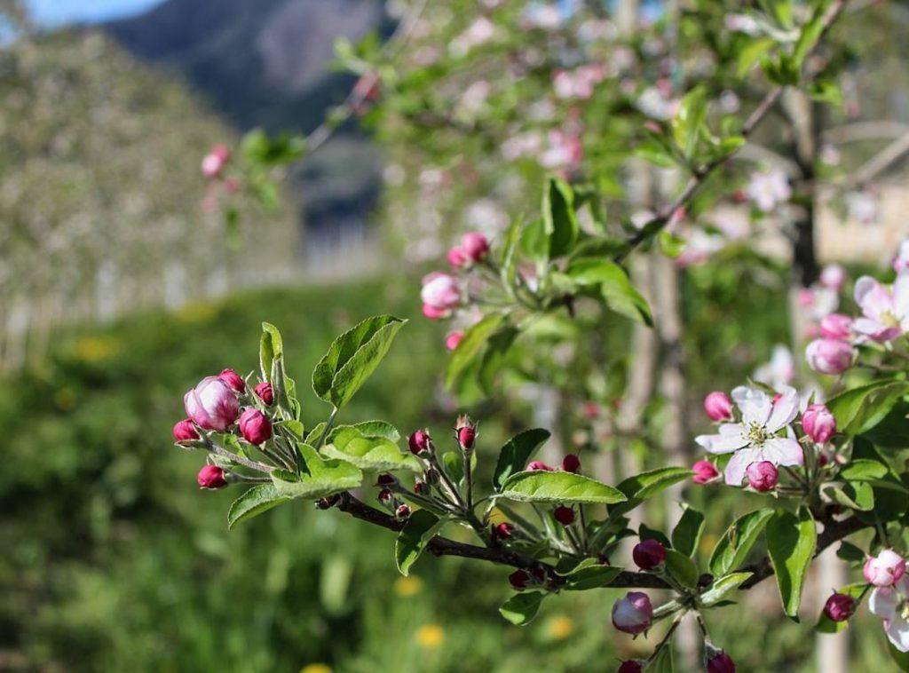 passeggiate-meli in fiore-caterina zini-fioritura meli-ilovevaldinon
