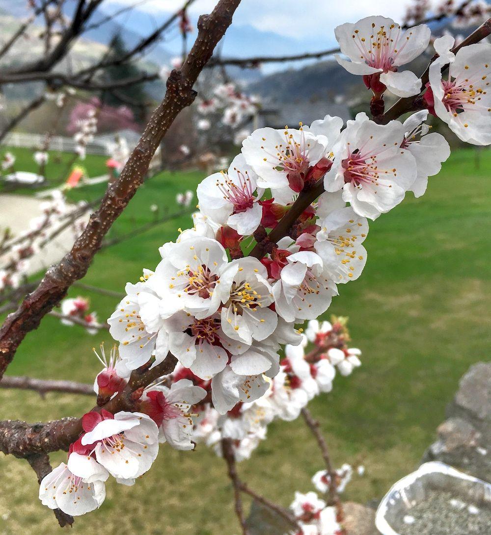 Come riconoscere 6 alberi da frutto dai loro fiori for Fiori di agosto