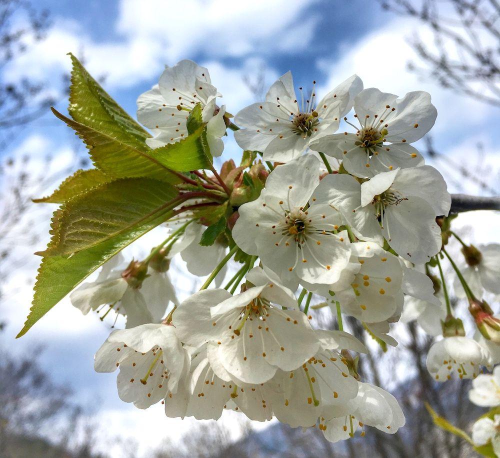 come riconoscere 6 alberi da frutto dai loro fiori i