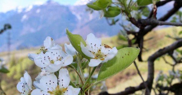 Fiori Bianchi 6 Petali.Come Riconoscere 6 Alberi Da Frutto Dai Loro Fiori
