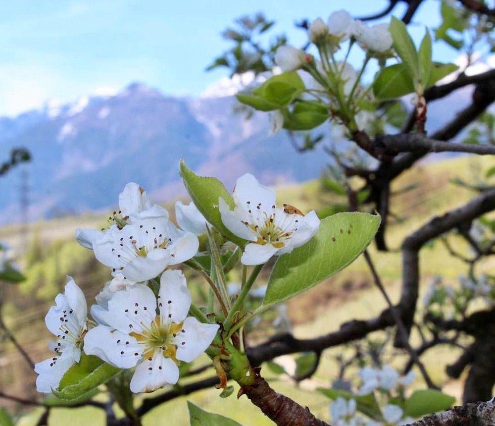 Come riconoscere 6 alberi da frutto dai loro fiori i - Alberi frutto giardino ...