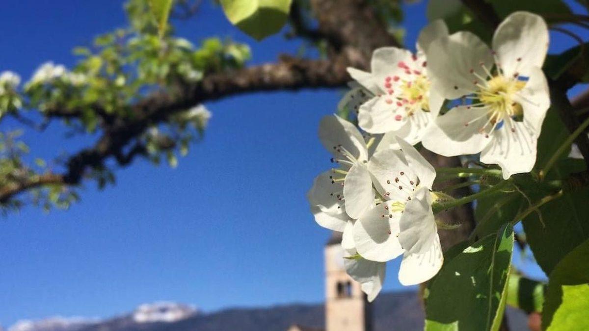Fiori Bianchi Canzone.Come Riconoscere 6 Alberi Da Frutto Dai Loro Fiori