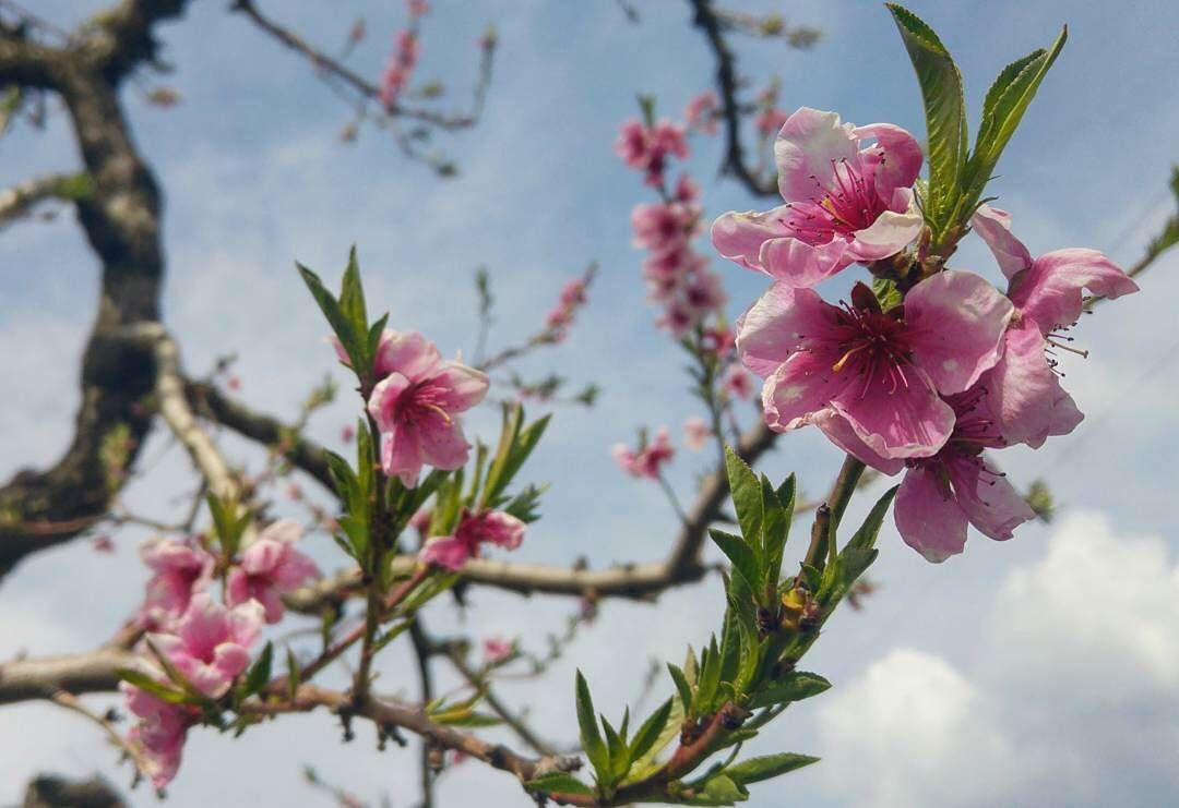 fiori-alberi da frutto-pesco-manpreet singh