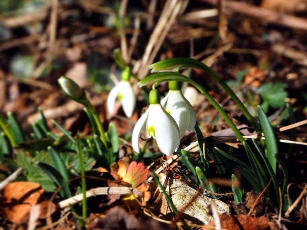 fiori di primavera-bucaneve-elisa battocletti-i love val di non