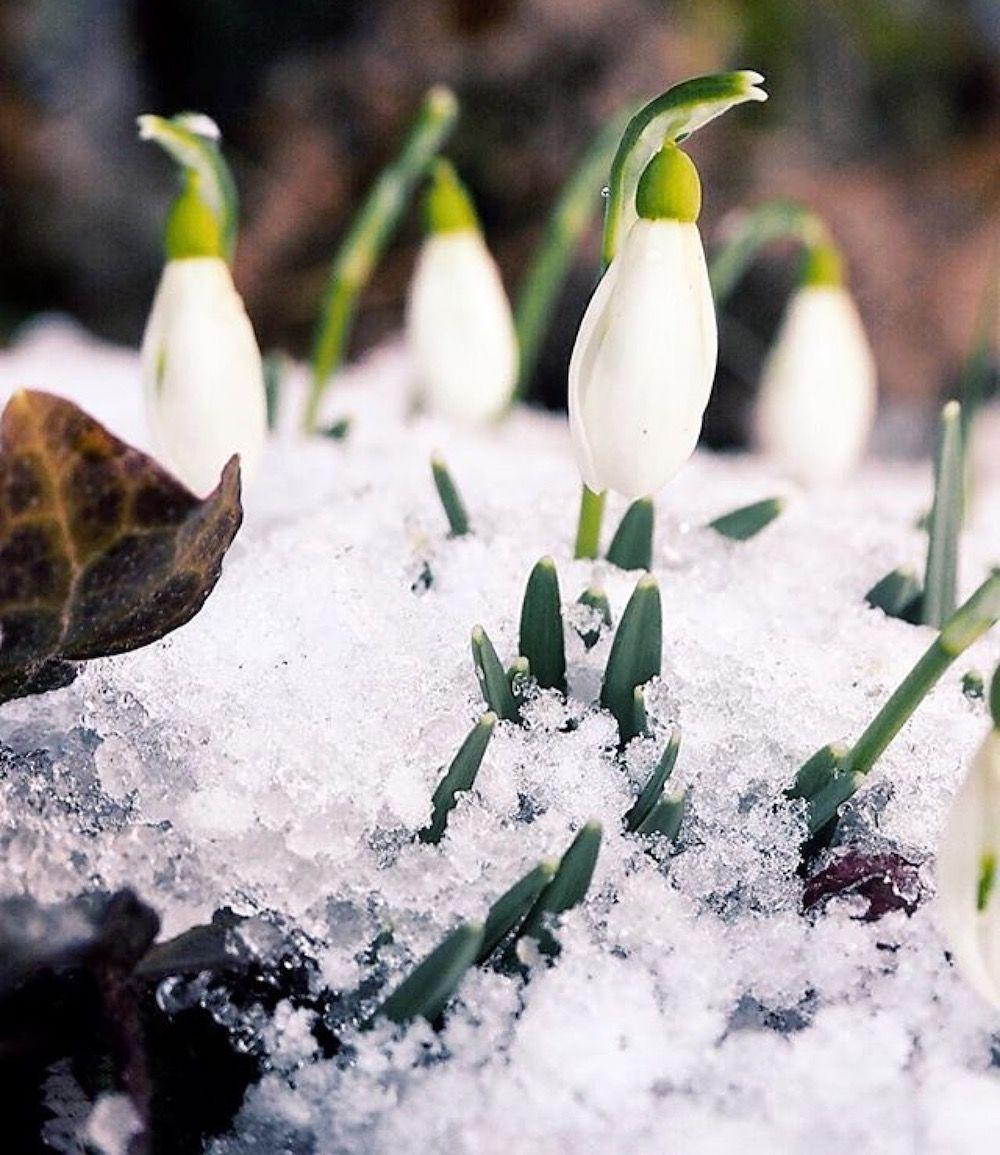 fiori di primavera - bucaneve-elisa battocletti-i love val di non