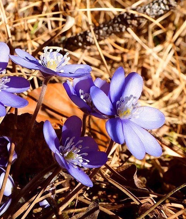fiori di primavera-erba trinità-elisa battocletti- i love val di non