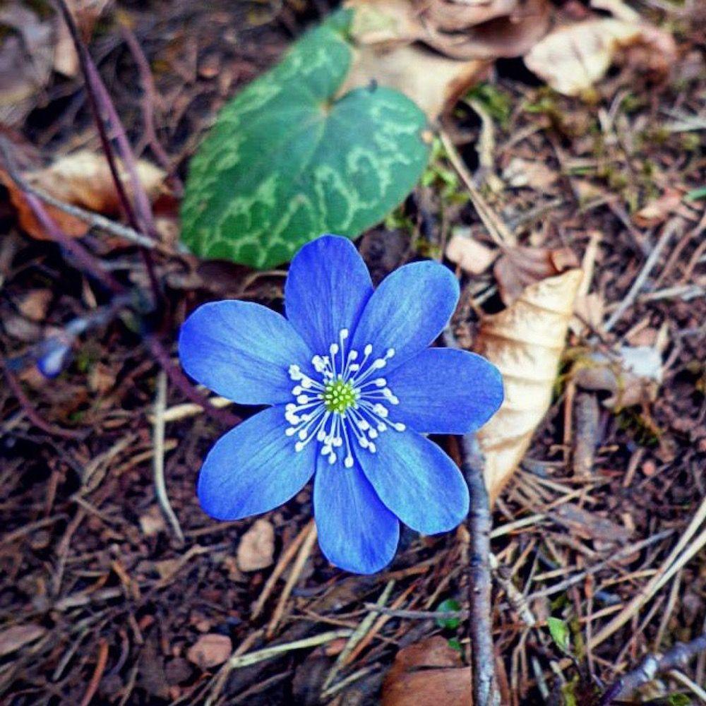 fiori di primavera-erba trinità-maria flor-i love val di non