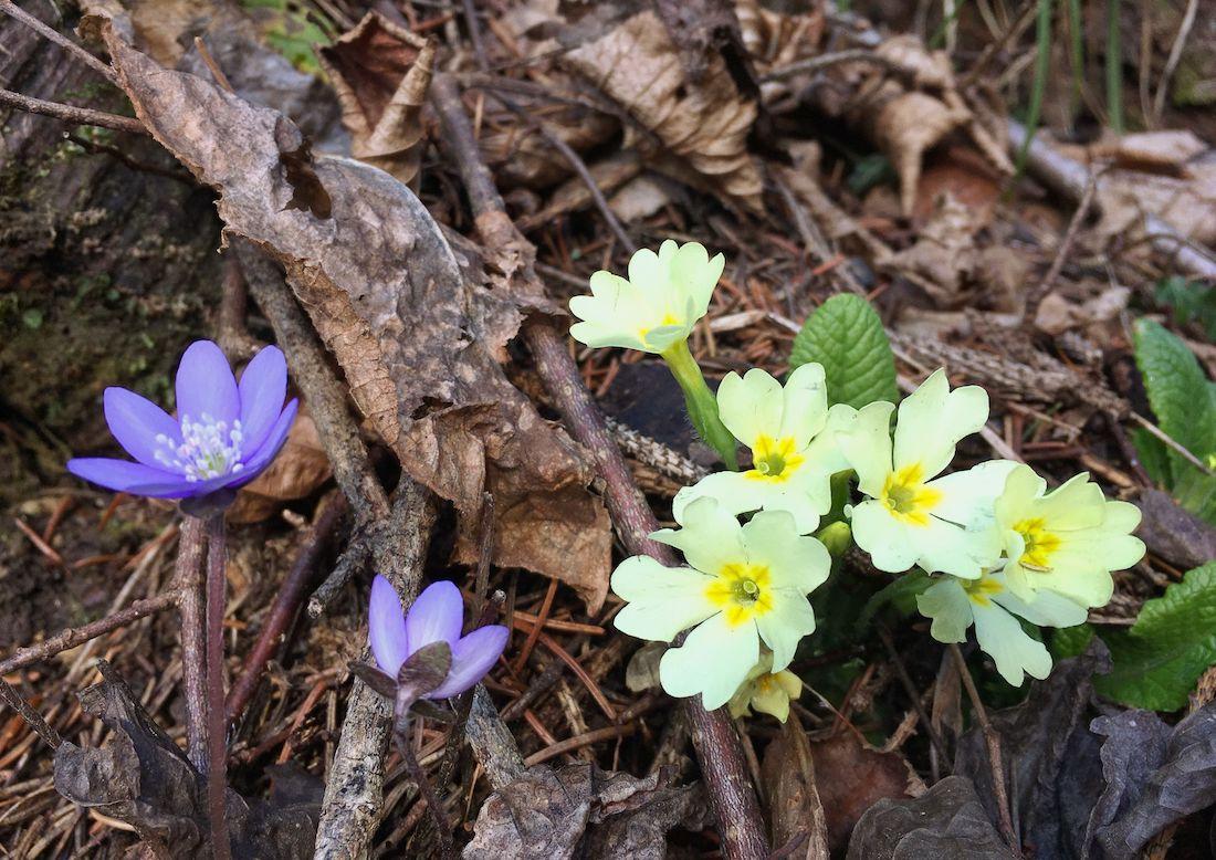 3 Fiori Primaverili Che Sbocciano Nei Boschi Di Montagna In Primavera