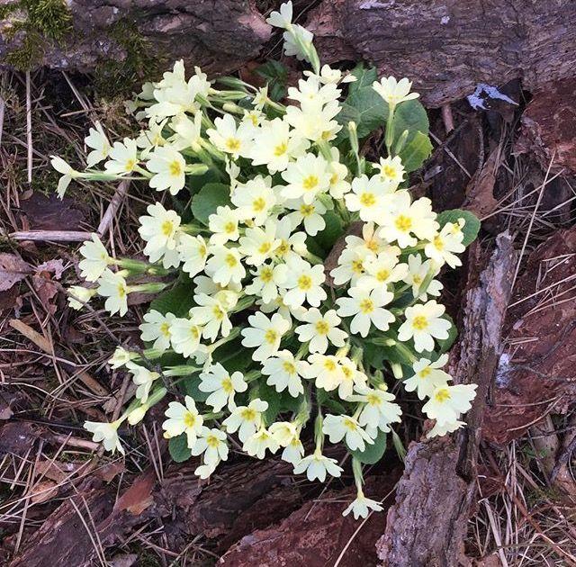 fiori primaverili- primavera-primula