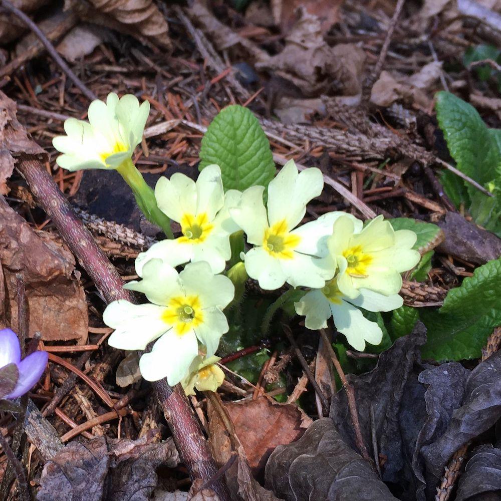 fiori primaverili- primula comune- i love val di non
