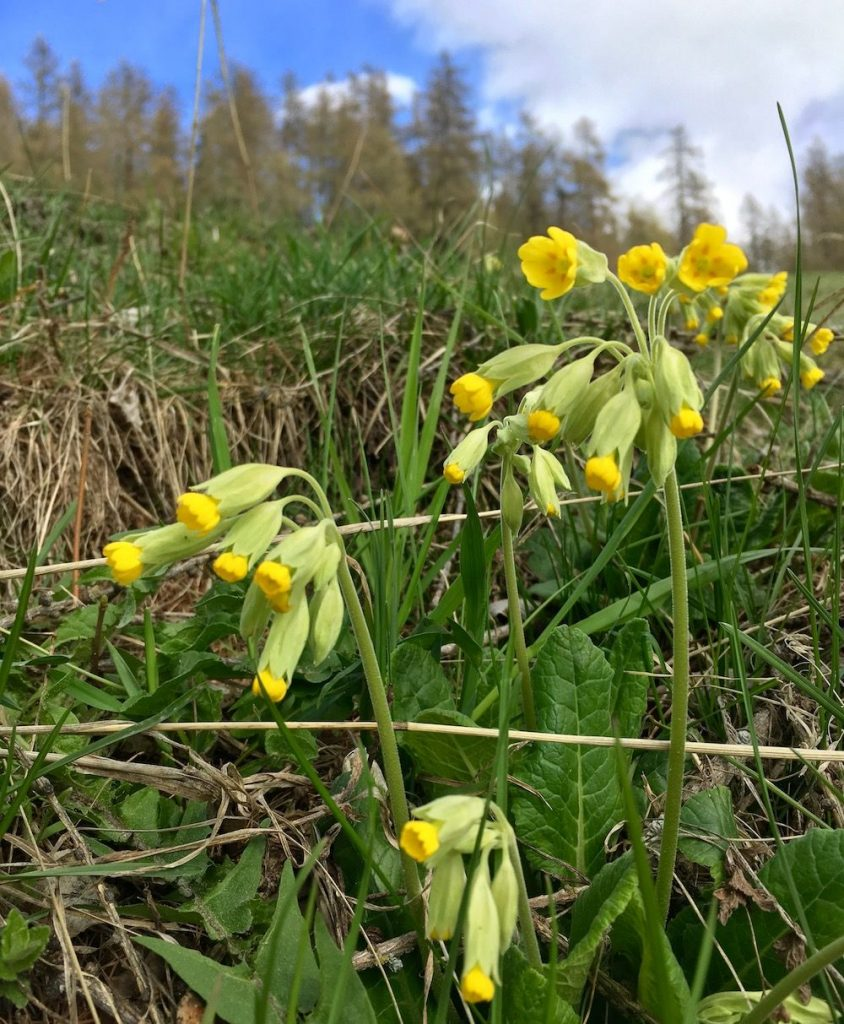 fiori primaverili - primula odorosa- i love val di non