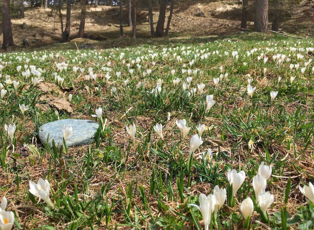montagna-in-primavera-crocus