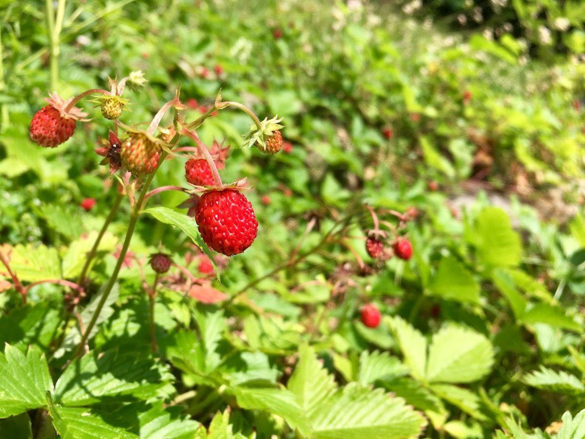 frutti di bosco - fragoline