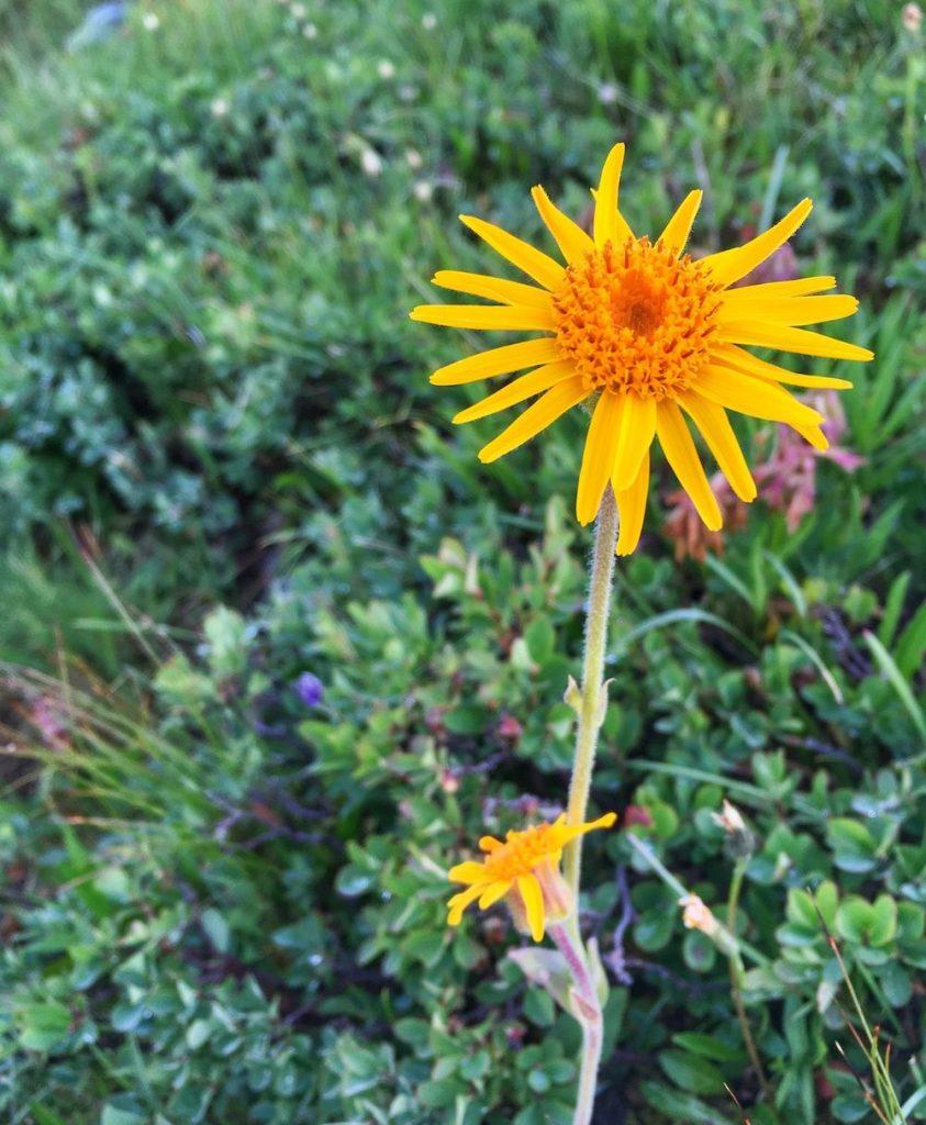 rispetto-in-montagna-fiori-arnica