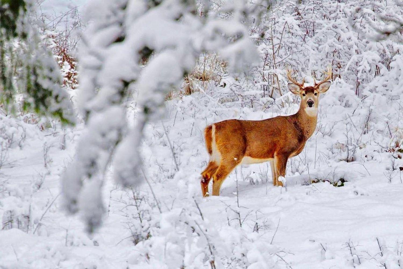 impronte di animali nella neve-cervo