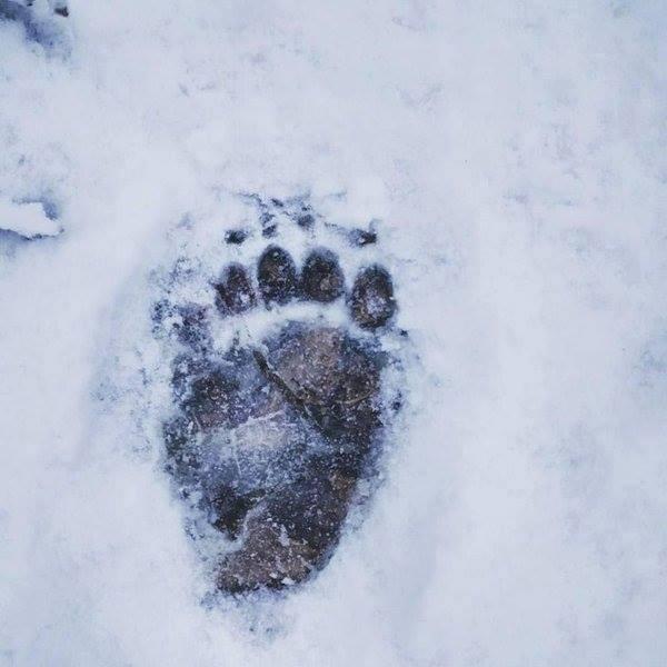 impronte-di-animali-nella-neve-orso