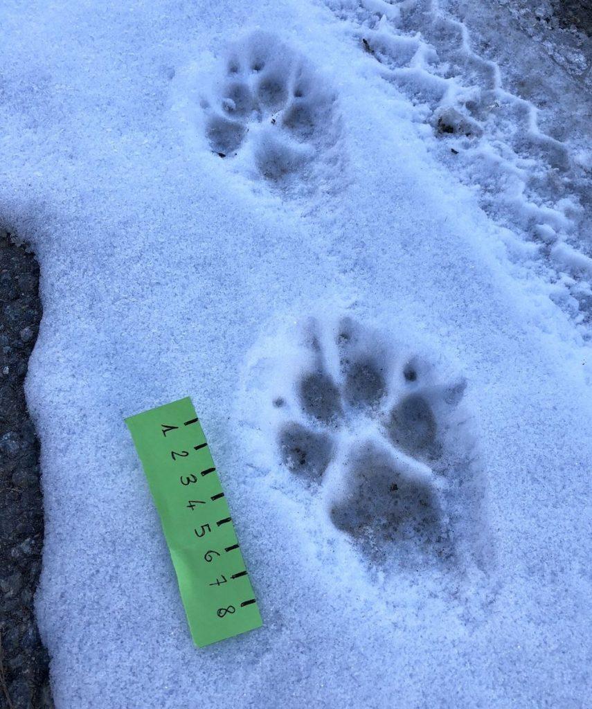 impronte-di-animali-nella-neve-cane