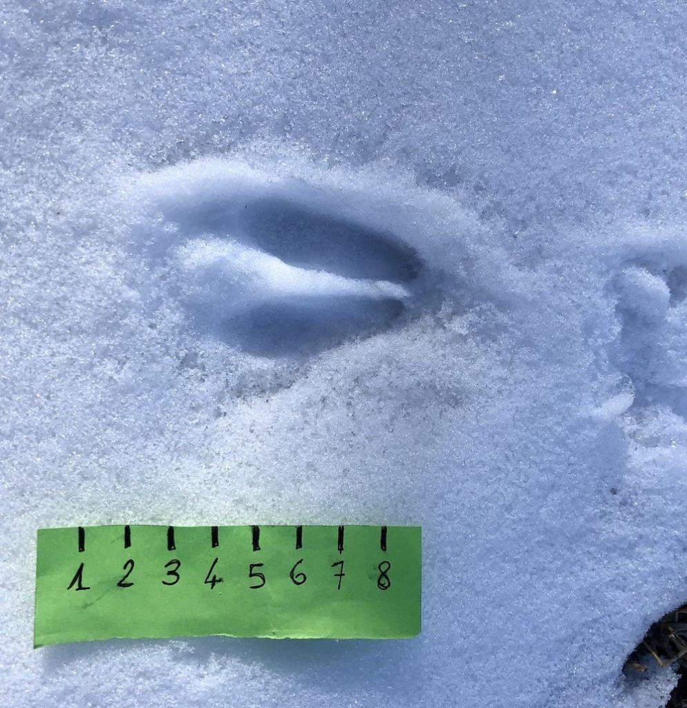 impronte-di-animali-nella-neve-capriolo
