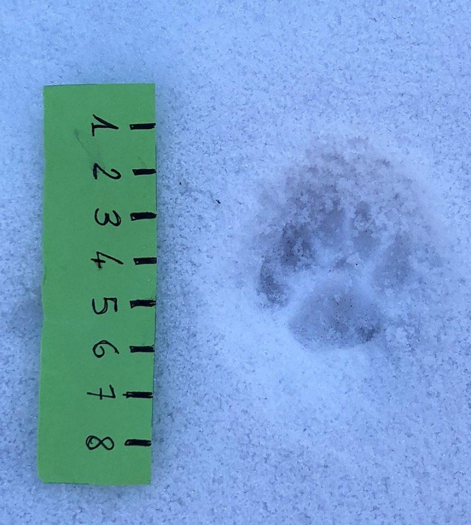 impronte-di-animali-nella-neve-faina