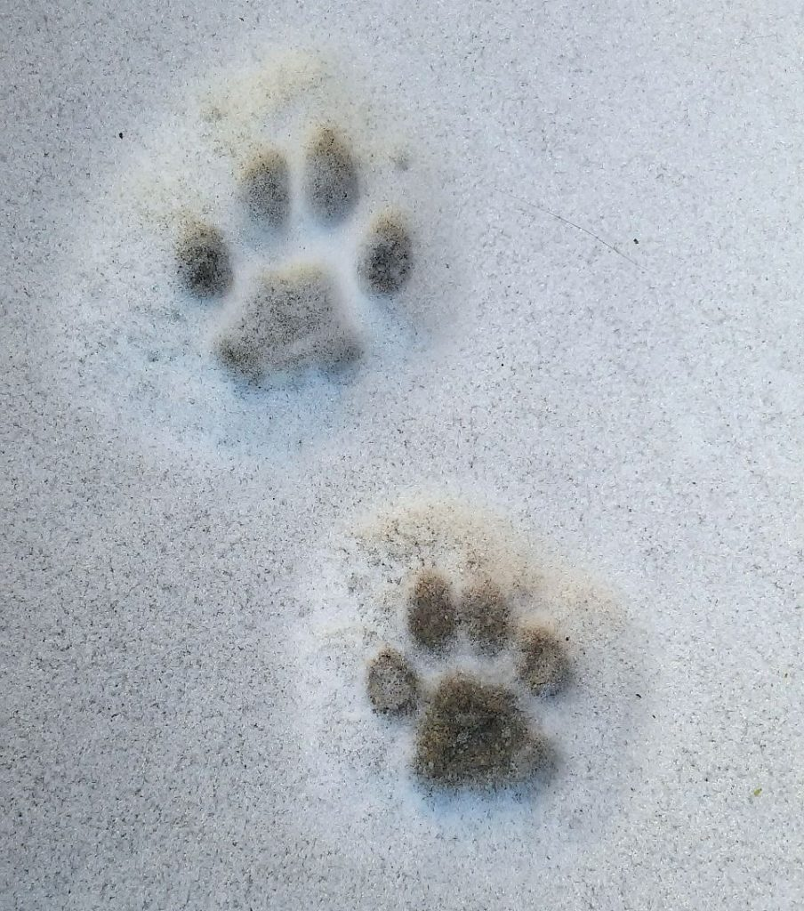 impronte-di-animali-nella-neve-gatto