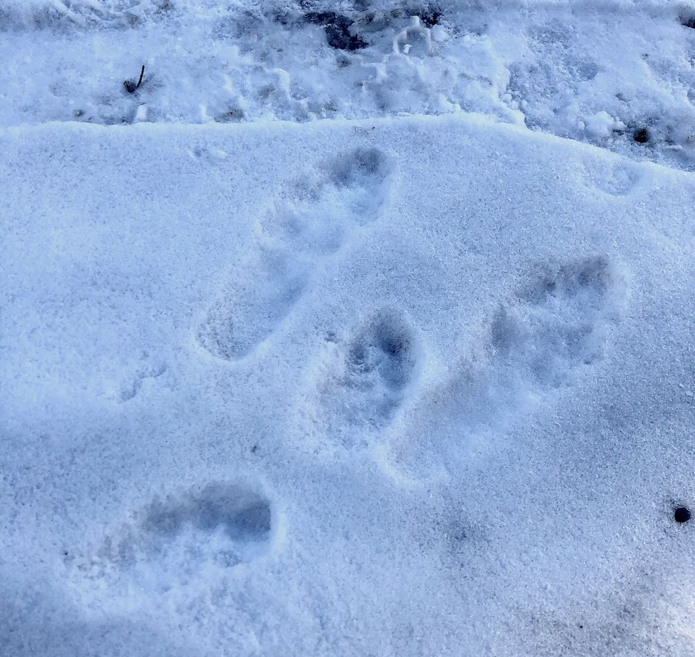 impronte-di-volpe-nella-neve