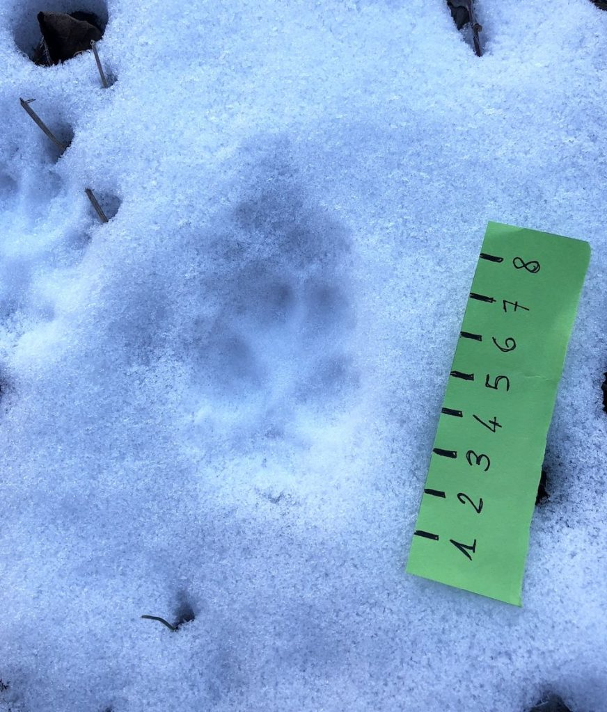impronte-di-animali-nella-neve-volpe