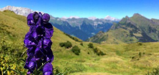fiori velenosi-aconito-dolomiti-bellunesi