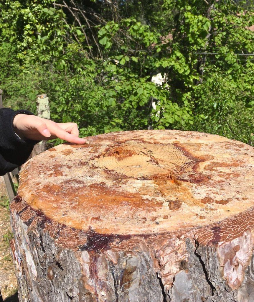 resina sul tronco tagliato-camminare nel bosco