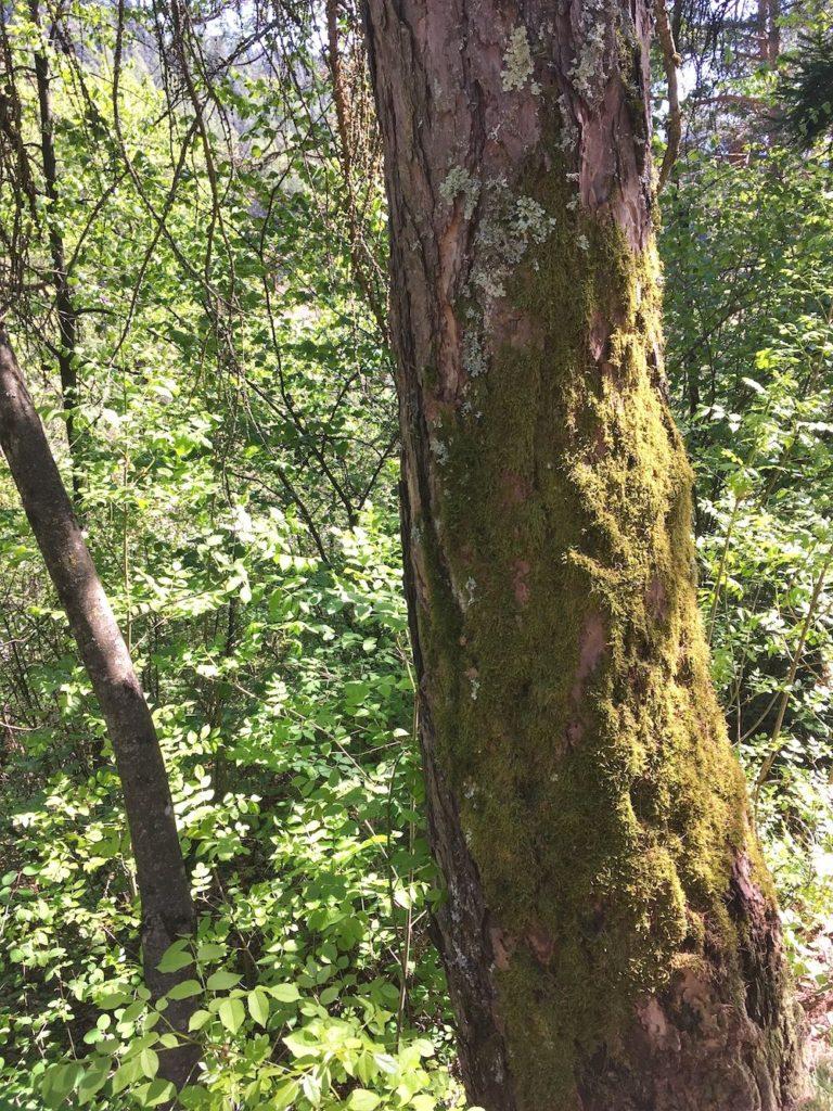 camminare nel bosco-muschio sugli alberi