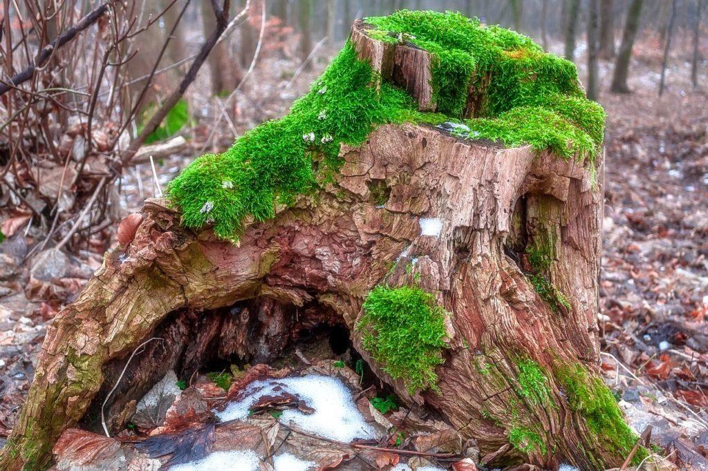 ceppo albero tagliato-bosco