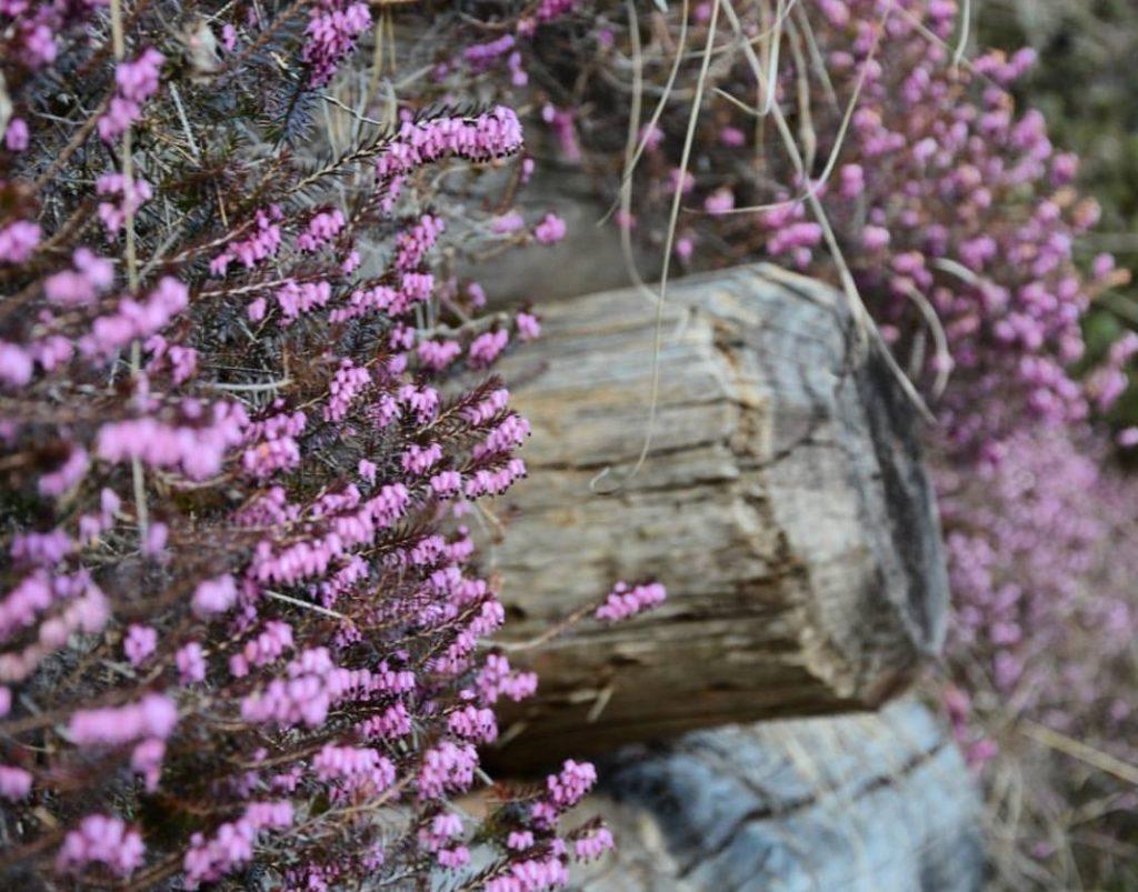 erica-in-fiore