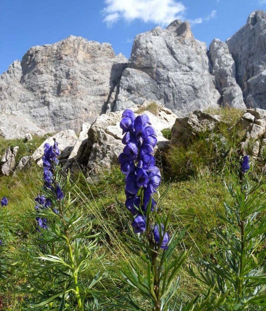 fiori-velenosi-aconito-napello