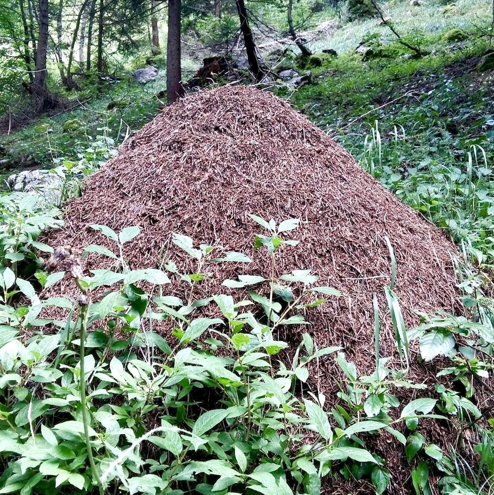 formicaio-nel bosco