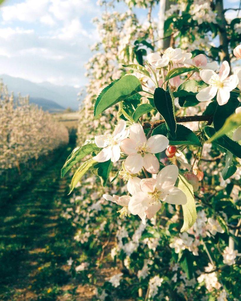 fioritura-dei-meli