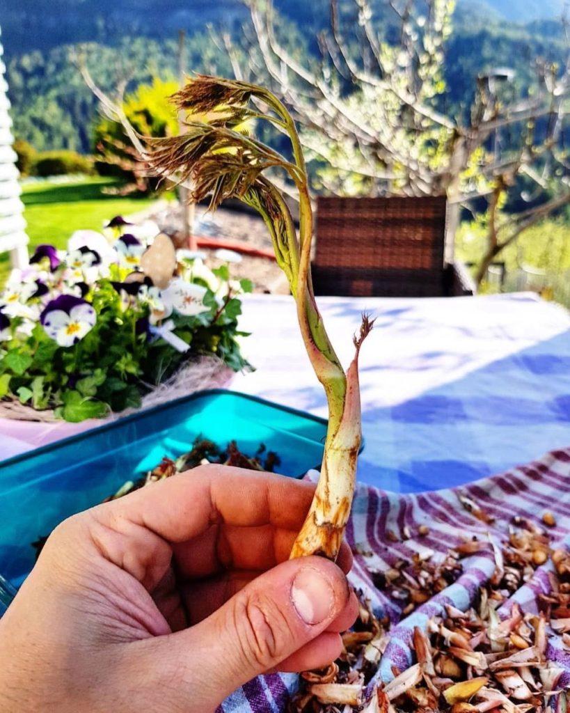 asparago di montagna-piante selvatiche commestibili