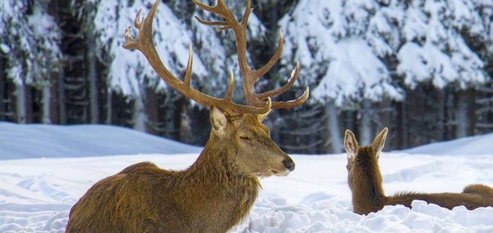 differenza tra cervo e capriolo