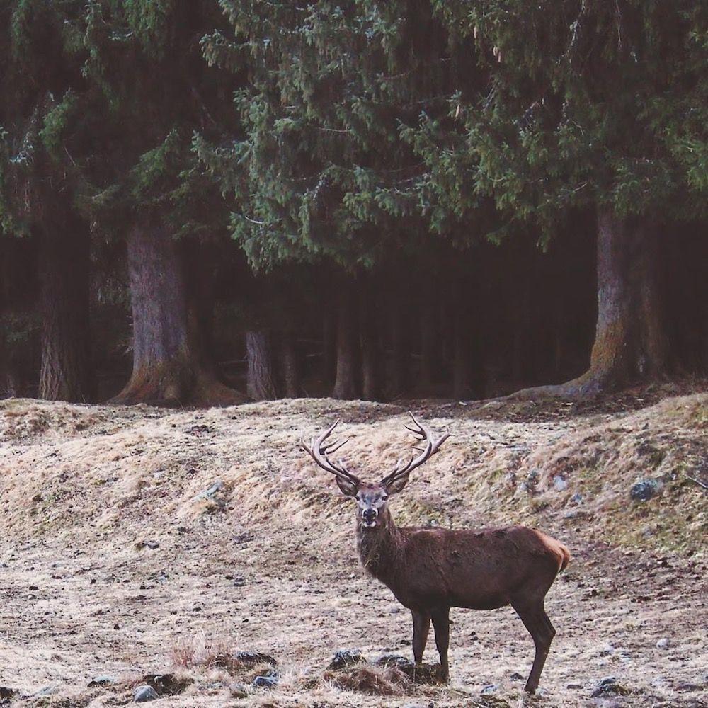 differenze tra cervo e capriolo