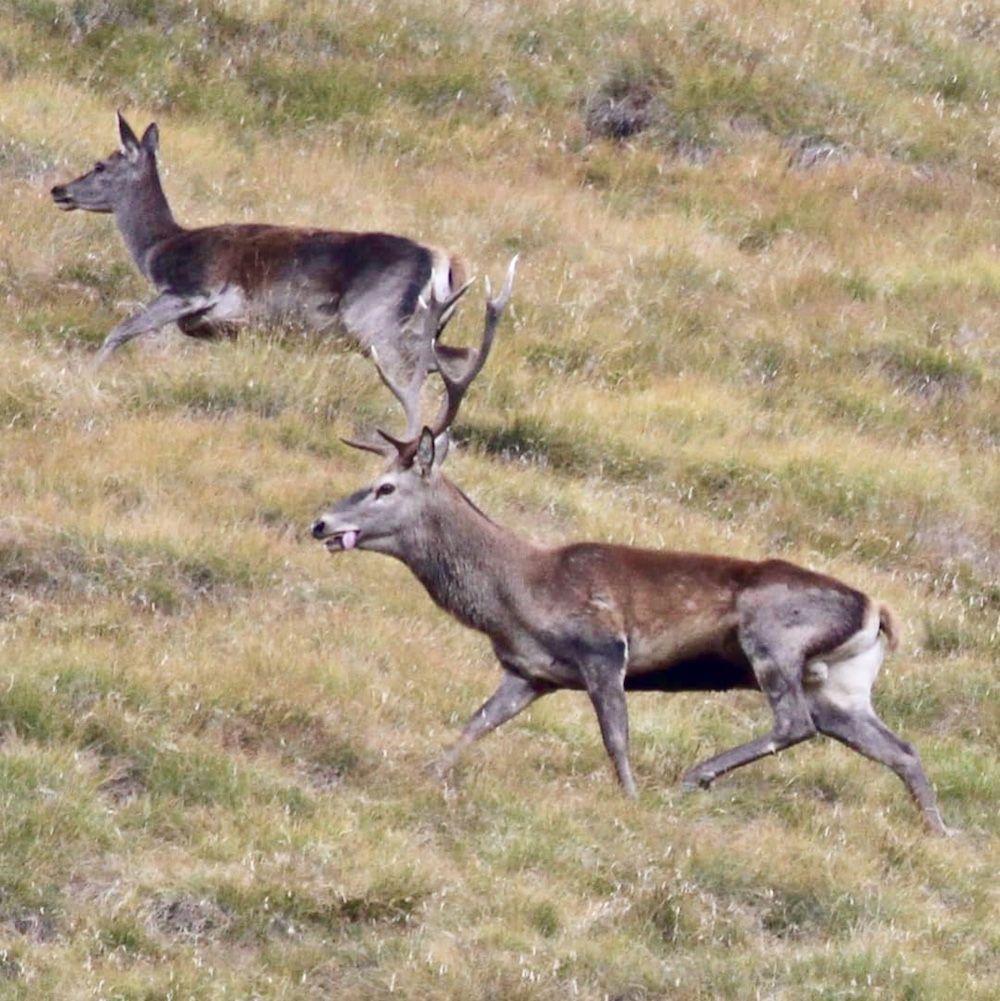 Quali sono le differenze tra cervo e capriolo impara a for Corna cervo